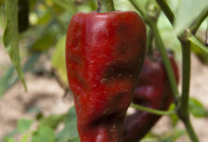 A red chilehuacle on the plant.