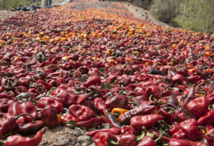 Chilehuacle drying in the traditional way. Industrial growers dry chiles in ovens, but purists say the flavor does not compete.